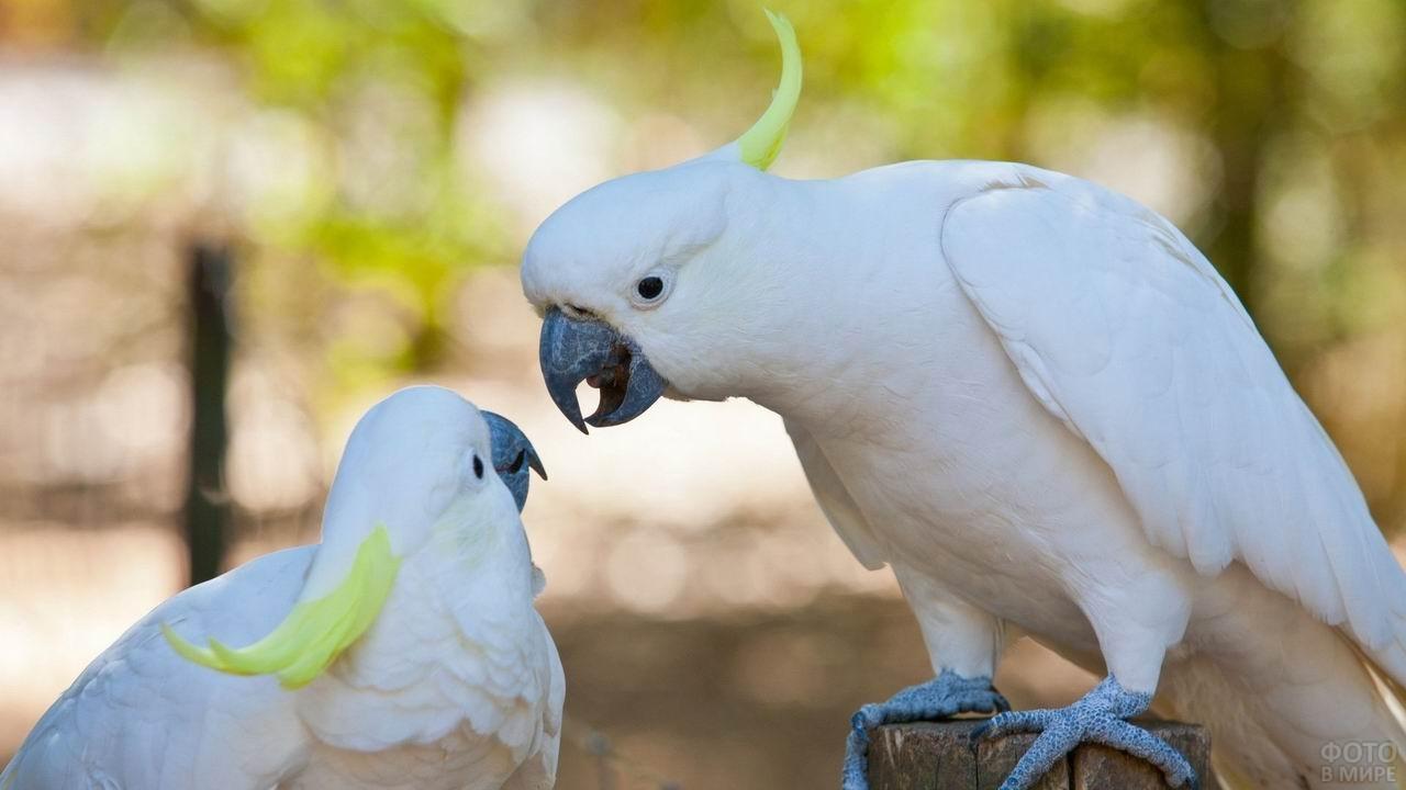 Один попугай наклонился к другому
