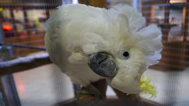Попугай какаду наклонился в бок
