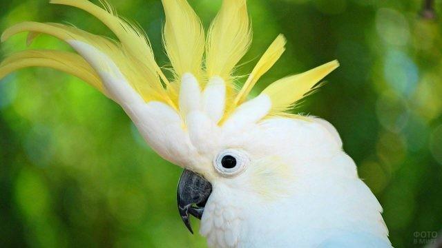 Попугай какаду расправил хохолок