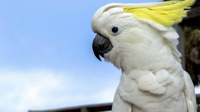 Попугай какаду в профиль
