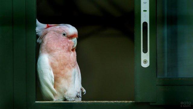 Розовый какаду облокотился на стену
