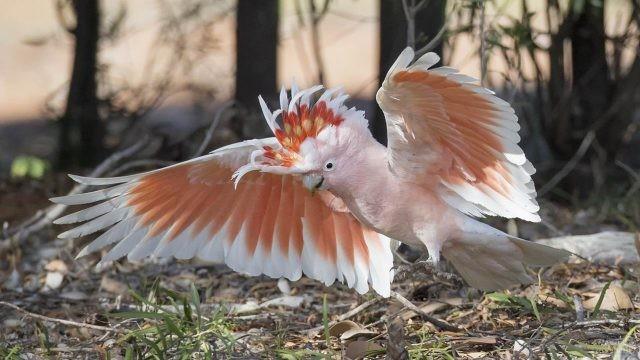 Розовый попугай расправил крылья