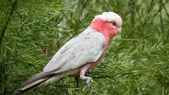 Розовый попугай сидит на ветке