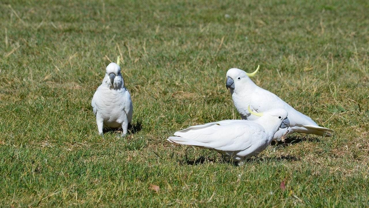 Три попугая какаду гуляют по газону