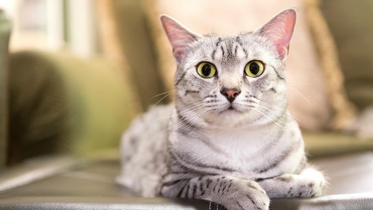Египетская кошка на кожаном диване