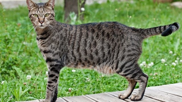 Египетская кошка на тротуаре