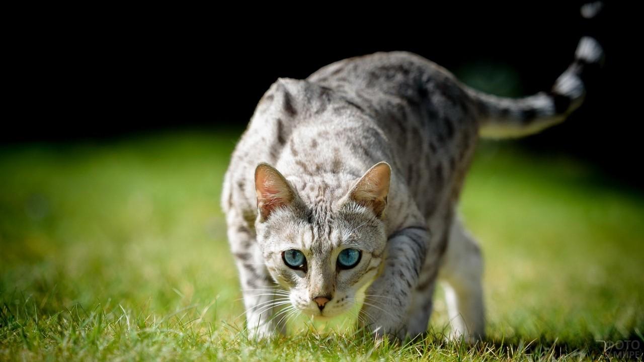 Хищная кошка готовится к атаке