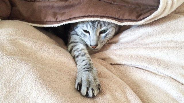 Кошка высунула лапу из-под одеяла
