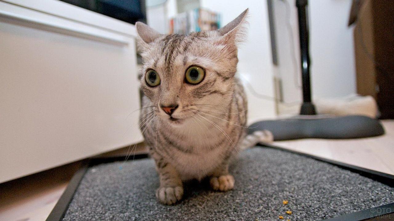 Кот на коврике прижал уши