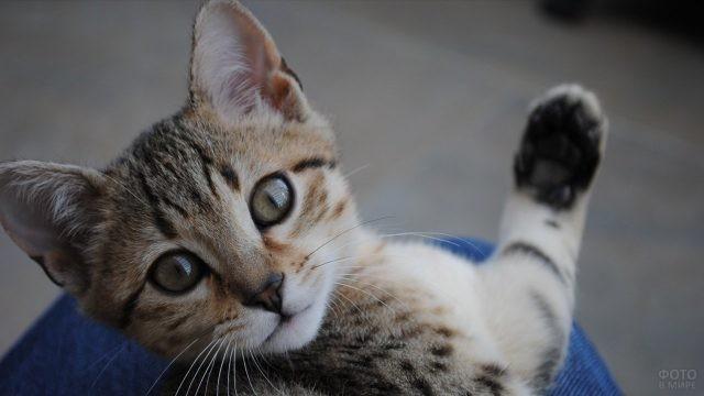Котёнок машет лапой