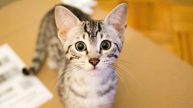 Котёнок серебристой египетской мау