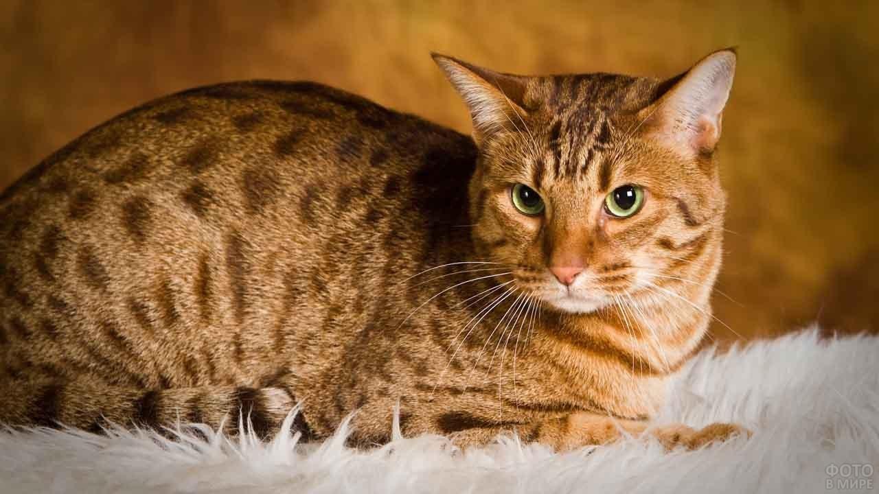 Сдержанный кот на белом коврике