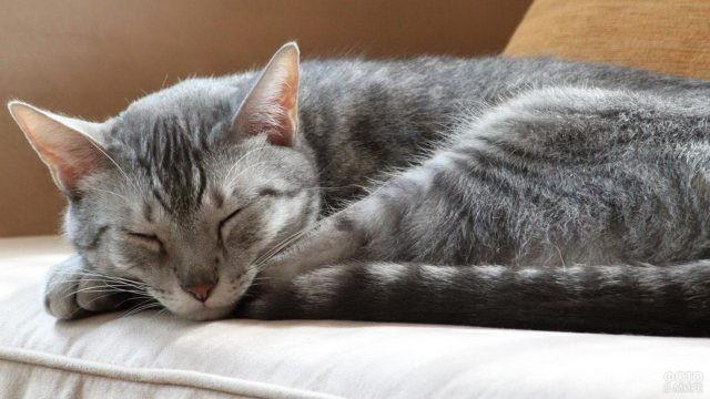 Спящая кошка породы мау