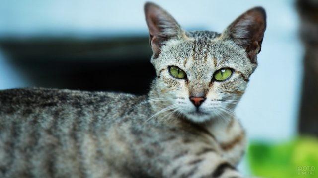 Взгляд египетской кошки серебристого окраса