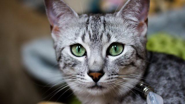Зелёные глаза у египетской мау