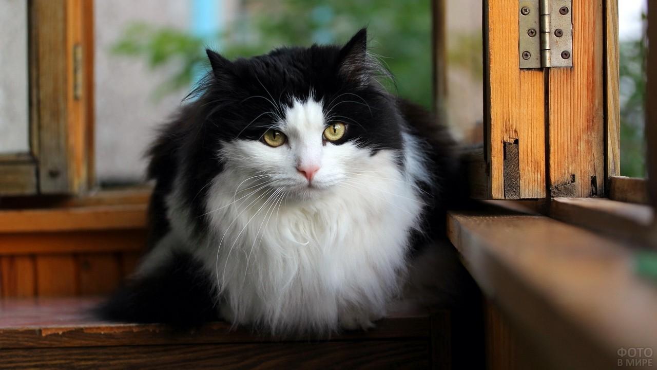 Чёрно-белая кошка у деревянного окна