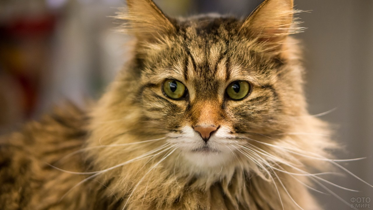 Норвежская кошка с длинными усами