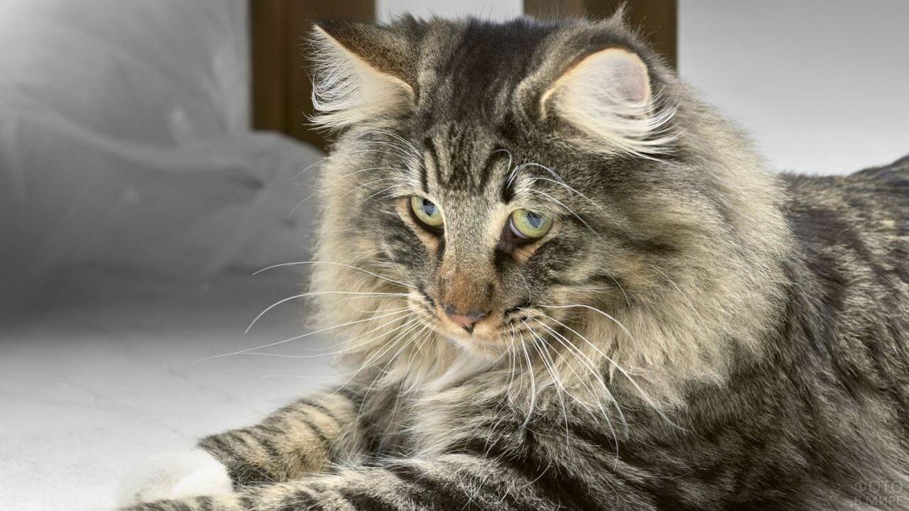 Виноватый взгляд норвежской кошки