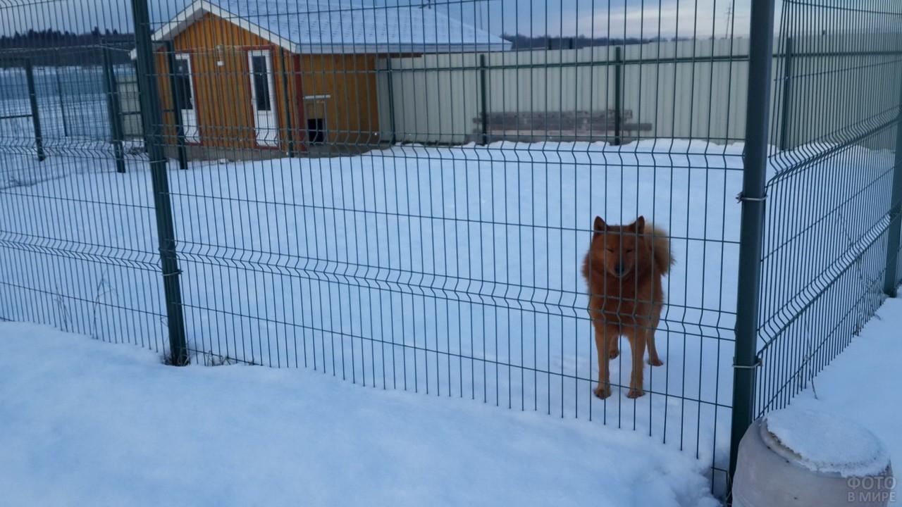 Рыжая собака в просторном загоне