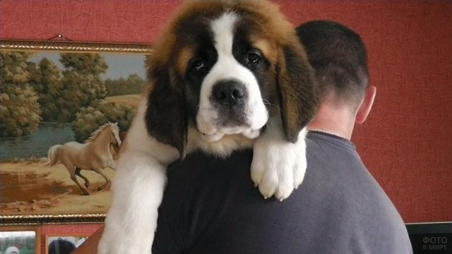 Молодая породистая собака на плече мужчины