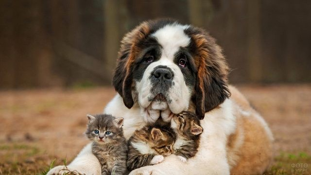 Подросший щенок сенбернара с котятами в лапах