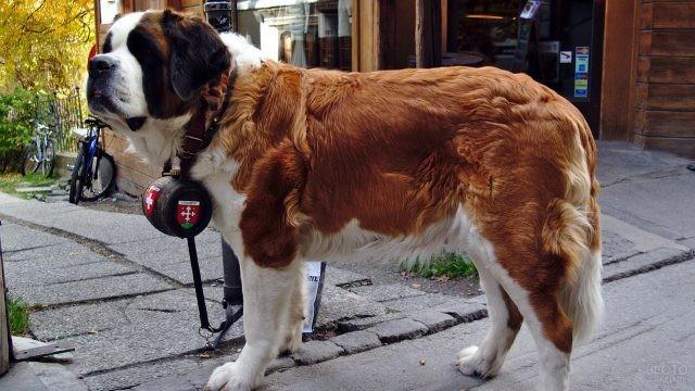 Собака святого Бернара с бочонком на шее на улице