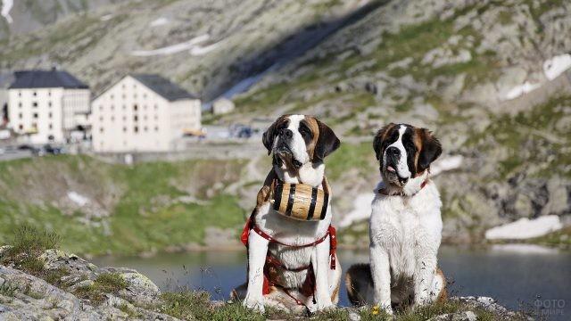 Спасатели-сенбернары возле горного озера