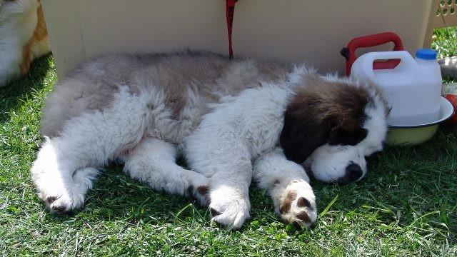 Уставший щенок спит возле переноски