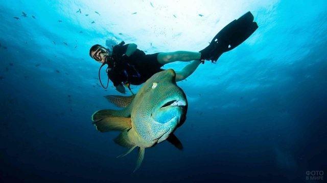 Дайвер и рыба Наполеон