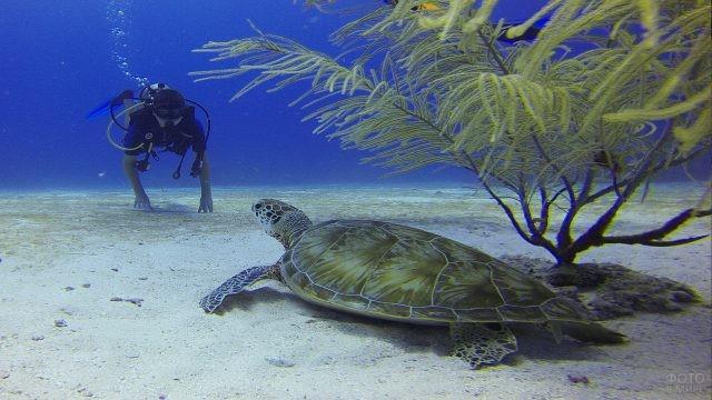 Дайвер подплывает к морской черепахе
