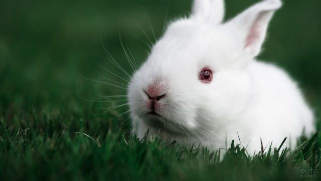 Американский кролик лежит на газоне