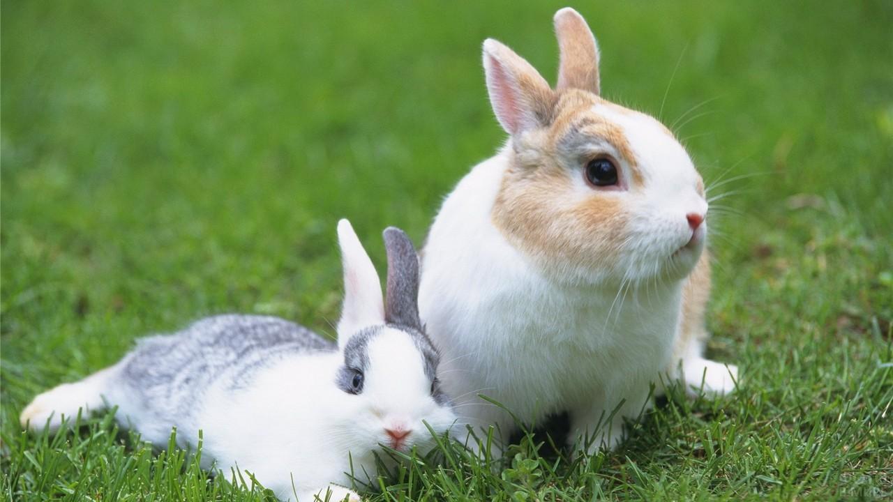 Два кролика на газоне