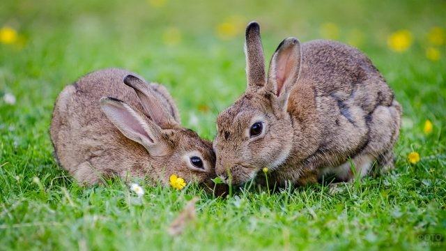 Два кролика породы фландр