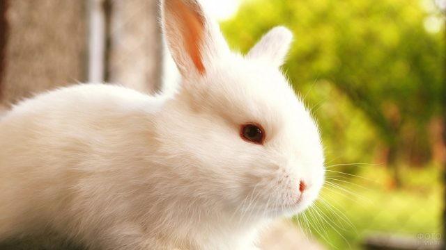 Гладкошёрстный белый кролик