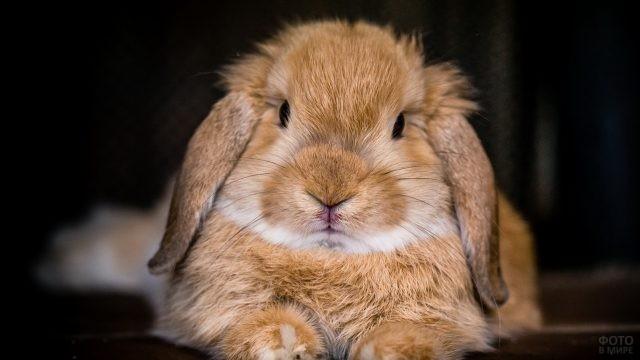 Голландский кролик карамельного цвета