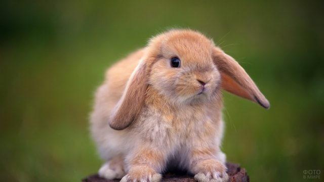 Голландский кролик сидит на пеньке