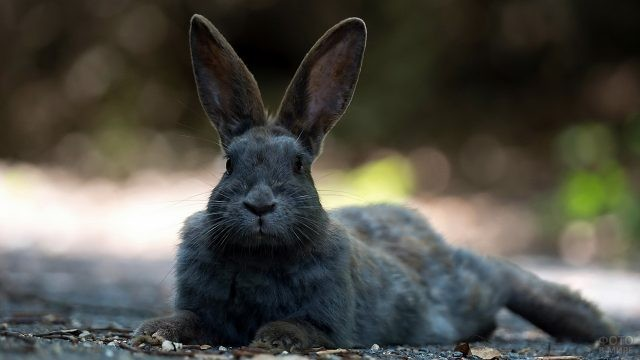 Кролик аляска лежит на земле