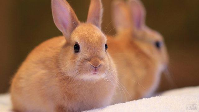 Кролик карамельного цвета
