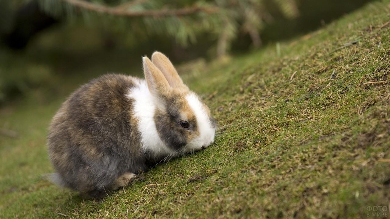 Кролик нюхает травку