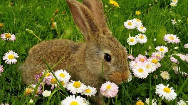 Кролик сидит среди ромашек