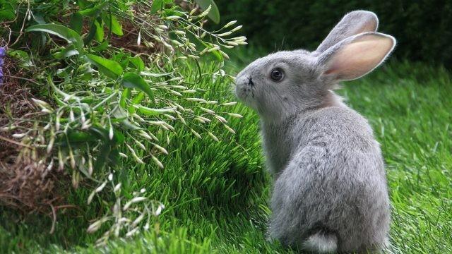 Серый кролик нюхает растения