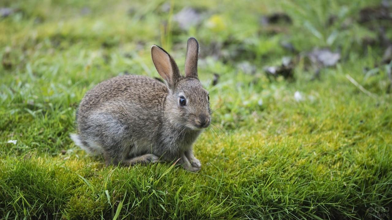 Серый кролик расположился на лужайке