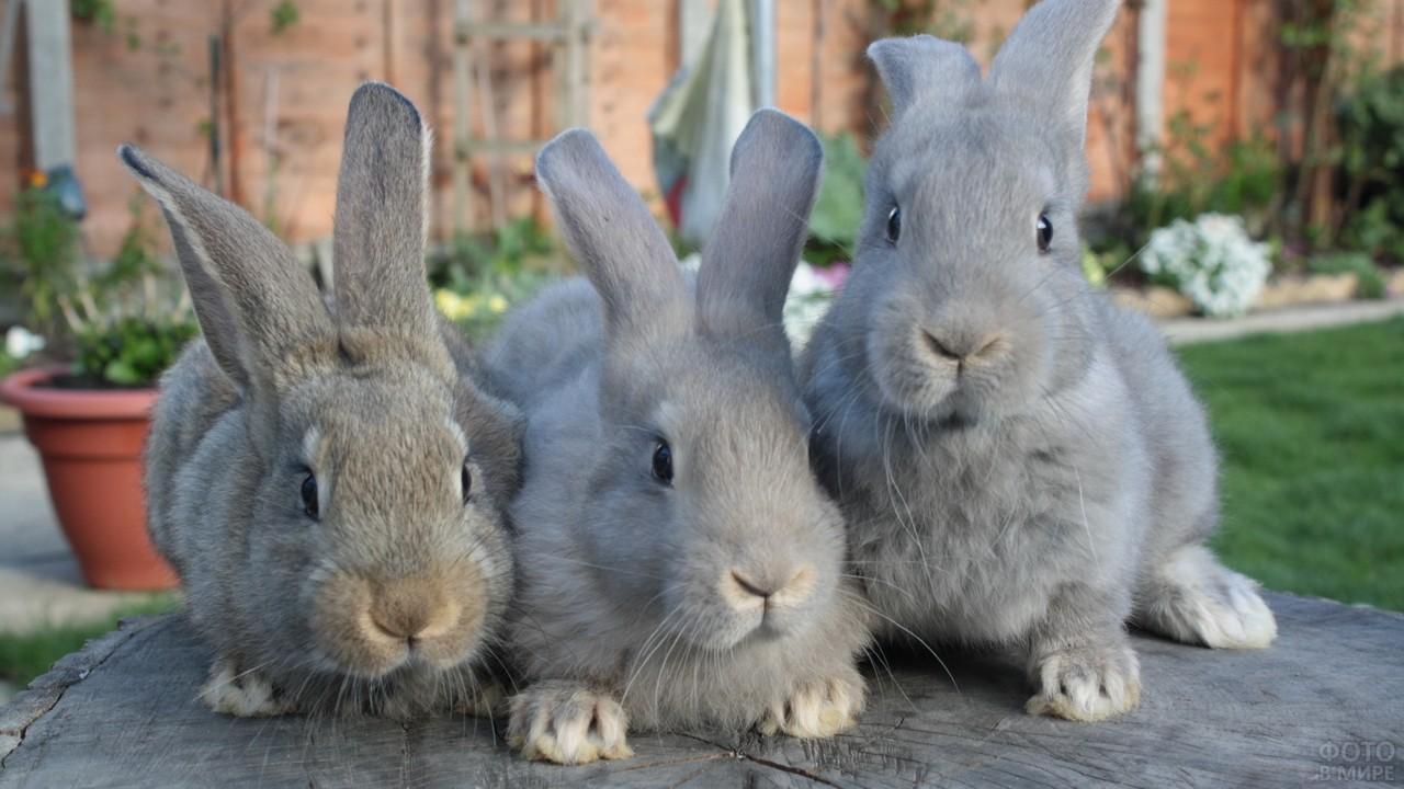 Три серых кролика сидят вместе