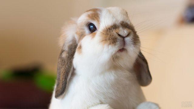 Вислоухий кролик мини баран