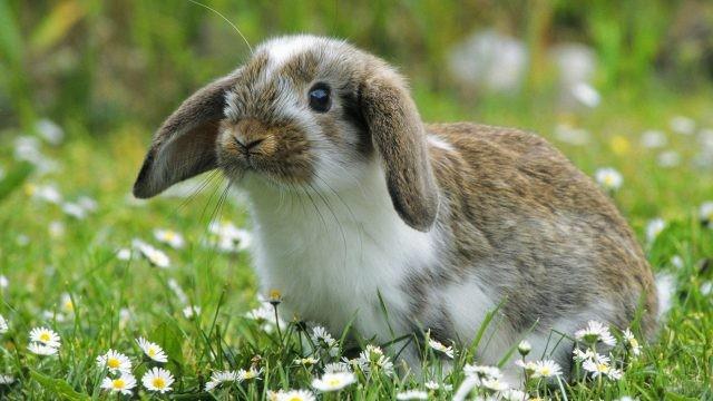 Вислоухий кролик сидит среди ромашек