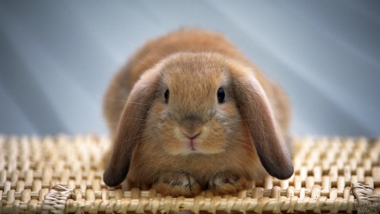 Вислоухий кролик сложил вместе лапки