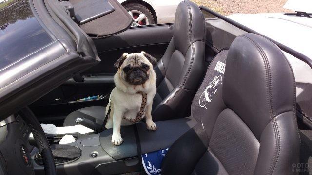 Безразличный мопс в кабриолете с кожаным салоном