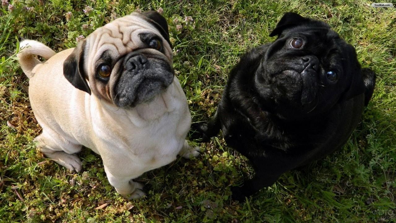 Чёрная и светлая собаки смотрят вверх на траве