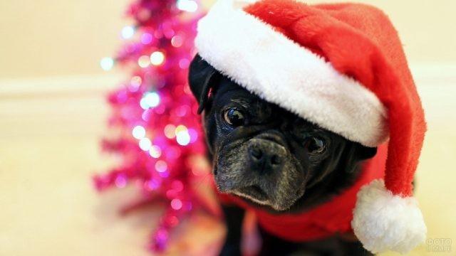 Чёрный мопс в новогоднем колпаке