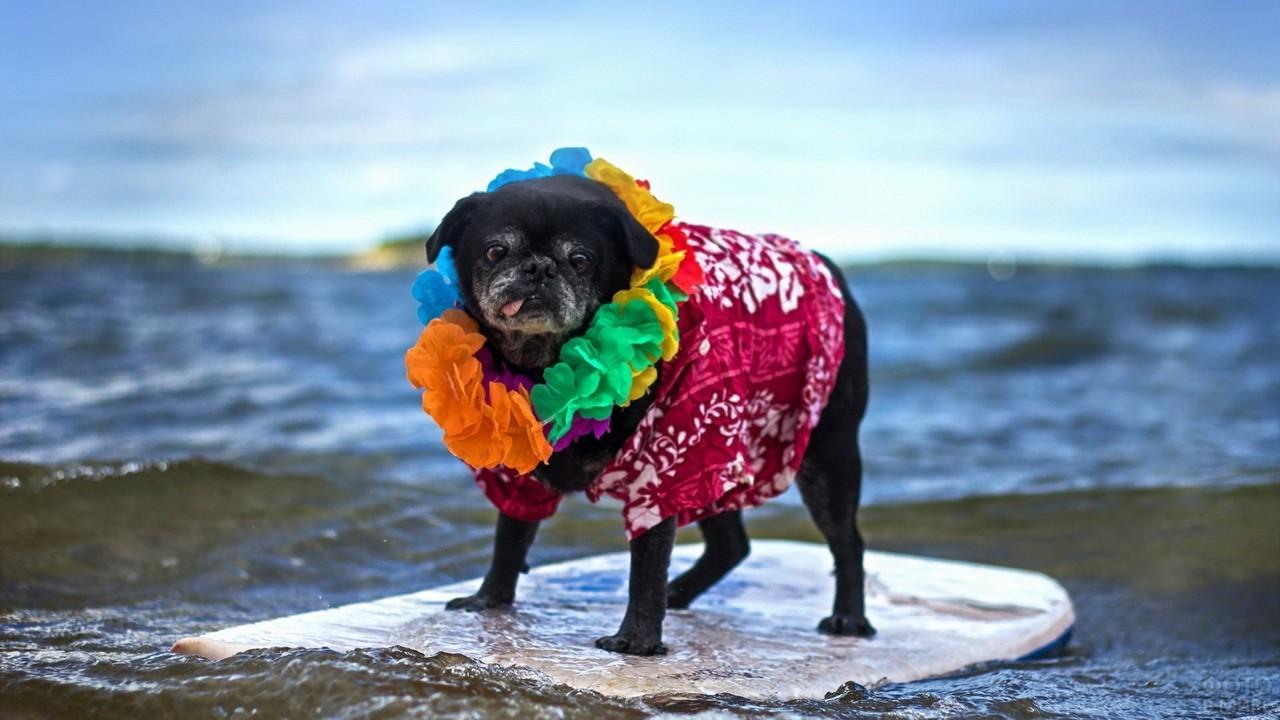 Чёрный пёс в гавайском ожерелье на сёрфе в море